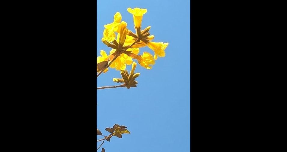 """""""Meu vizinho, o ipê amarelo nesse azul lindíssimo"""", mostra Tina Fusco, de São Paulo (SP)"""