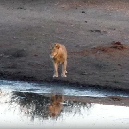 Seca tem provocado escassez de alimentos para leões, que estão atacando turistas na Namíbia - Reprodução/YouTube