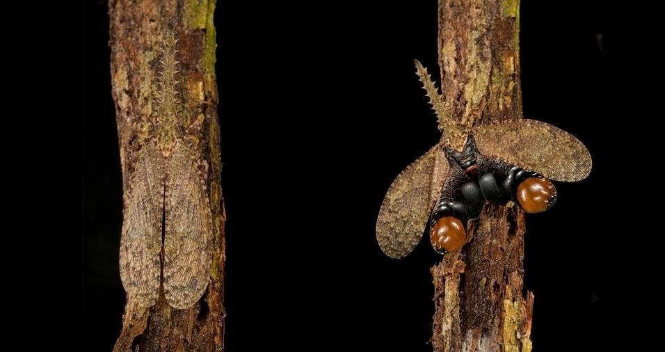 22. Cigarra conhecida também como mosca lanterna