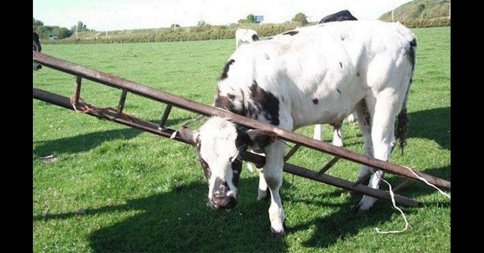 32. O que significa uma vaca subindo a escada?