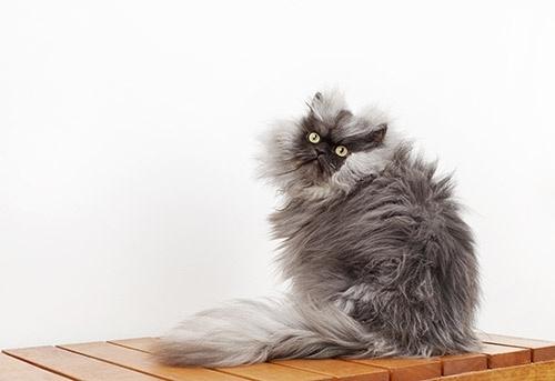 29.ago.2013 - Gato chamado Colonel Meow, mistura de persa e himalaio, entrou para o Livro dos Recordes Guinness por possuir o pelo mais longo, com 22,87cm de comprimento. O felino possui perfil no Instagram e no Facebook, além de canal do Youtube
