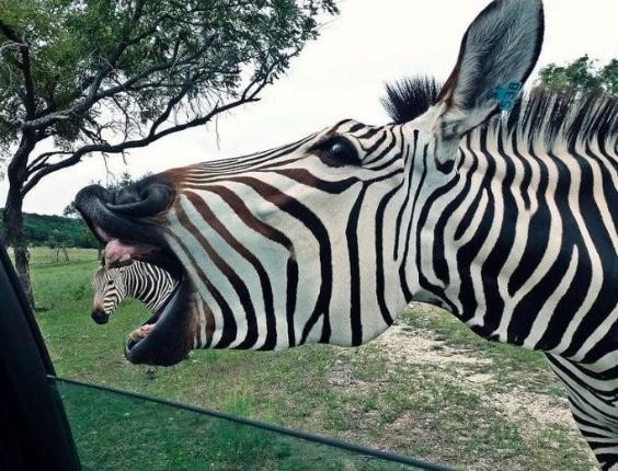 Xi... deu zebra