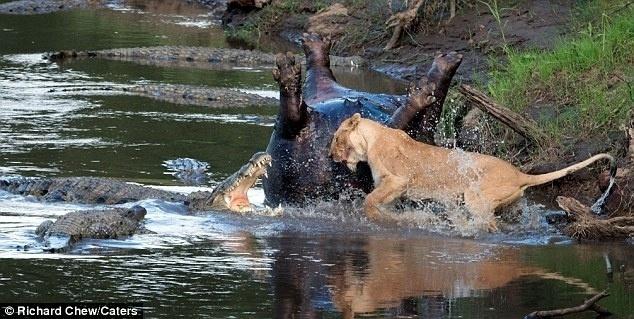 24.mar.2014 - O fotógrafo Richard Chew capturou o momento em que uma leoa faminta enfrentou um bando de crocodilos pelo corpo de um hipopótamo que estava morto desde o dia anterior em uma reserva natural do Quênia. A luta pela refeição faz com que, mesmo em desvantagem númerica, a leoa atacasse os outros predadores com suas garras, fazendo com que eles revidassem com raiva. Pelo outro lado do rio, a fêmea e um companheiro [um leão que não aparece nas imagens] já estavam rodeando a carcaça do hipopótamo, que havia morrido na noite anterior, há horas. No entanto, assim que chegaram perto do corpo, os crocodilos apareceram prontos para a briga. O fotógrafo, no entanto, não registrou quem levou a melhor na luta
