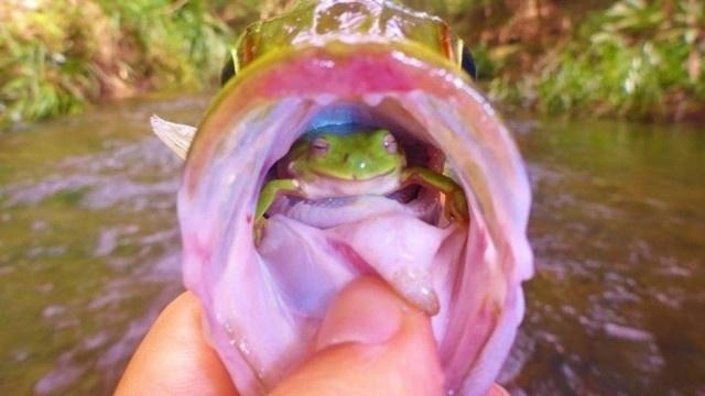 """5.mai.2014 - Pode parecer, mas não é história de pescador. O australiano Angus James fisgou um peixe e, ao retirar o anzol para devolver o animal à agua, encontrou um sapo vivo na garganta do bicho. """"Eu fiquei chocado. Primeiro pensei que poderia ser grama, então ele piscou"""", revelou. Segundo o australiano, o sapo escapou logo após a imagem acima ser feita. """"Sempre carrego uma câmera, então tirei a foto e aí ele pulou"""". Angus enviou o flagra para a revista Reptiles, que publicou a foto no Facebook na última sexta (2). Até a tarde desta segunda-feira, a imagem já tinha mais de 32 mil compartilhamentos. """"Foi uma das coisas mais legais que já vi na vida"""", contou o pescador"""