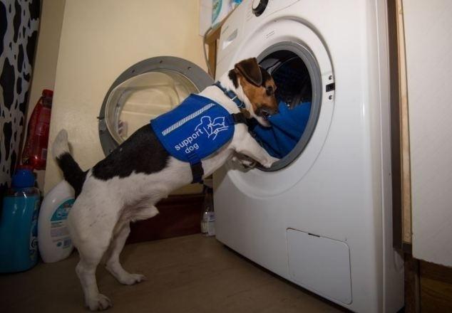 20.mai.2014 - Billy, 8, vive com a dona Carol Willacy, 45, na Inglaterra. Ele é mais que um amigo para a mulher que sofre com osteoartrite severa há oito anos e tem danos na coluna por cair de um cavalo. Como consequência, ela enfrenta problemas de mobilidade e precisa de uma cadeira de rodas para se locomover. Depois de ver um cão treinado na TV, Carol matriculou o ainda filhote Billy em um curso para cães. Como resultado, ele desenvolveu várias habilidades e agora a ajuda a esvaziar a máquina de lavar roupa, abrir a porta (que possui uma corda), apagar a luz e também tirar os sapatos  da dona. Se ela perder algo, ele rapidamente encontra e pega