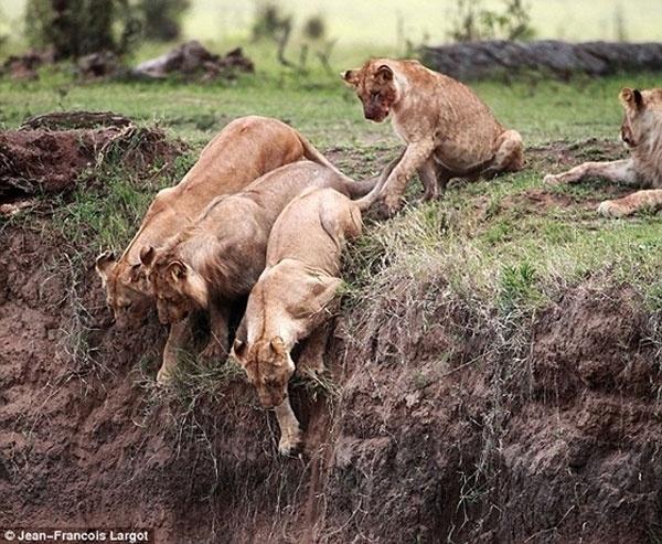 26.mai.2014 - Depois de cair de um penhasco íngreme, um filhote de leão tentava pedir socorro, quando sua mãe apareceu com outras três leoas e um leão para ajudá-lo. Sem hesitar, a mamãe leoa coloca sua vida em risco para salvar o filho antes que ele caia para uma morte certa. As outras leoas chegaram a olhar sobre a borda do precipício antes de abortar a missão de resgate por causa da altura, mas a mãe foi até o fim e se arrastou para baixo do penhasco para chegar ao filhote em perigo. Depois de levá-lo na boca até um lugar a salvo, a leoa tratou de dar uma lambida para dizer ao pequeno que estava tudo bem. O resgate dramático aconteceu no Quênia e foi flagrado pelo fotógrafo da vida selvagem Jean Francois Largot