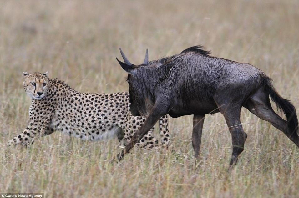 27.mai.2014 - Um dia da caça, outro do caçador! Uma chita, animal conhecido pela velocidade, pensou que se daria bem ao atacar um gnu no Quênia. Acontece que o gnu não era do tipo que leva desaforo para casa. Ao perceber que a chita tentava caçá-lo, o animal, em vez de fugir, resolveu revidar e partiu para a briga. O felino foi pego de surpresa pela audácia de sua presa. O resultado da briga foi a chita desapontada sem refeição, e o gnu seguindo firme e forte por aí. O impasse foi flagrado pelo fotógrafo Vadim Onishchenko