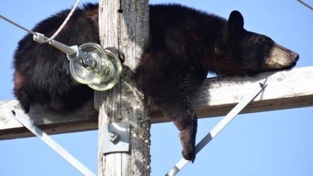 30.mai.2014 - Para fugir de dois cães, um urso resolveu subir no topo de um poste, em Shellbrook, no Canadá, e acabou pegando no sono. Com medo de acontecer alguma pane no sistema elétrico, um morador resolveu chamar a companhia de energia para retirar o animal do local. Segundo o jornal ?Metro?, o urso desceu sozinho do poste, evitando maiores problemas à equipe da companhia de energia30.mai.2014 - Para fugir de dois cães, um urso resolveu subir no topo de um poste, em Shellbrook, no Canadá, e acabou pegando no sono. Com medo de acontecer alguma pane no sistema elétrico, um morador resolveu chamar a companhia de energia para retirar o animal do local. Segundo o jornal ?Metro?, o urso desceu sozinho do poste, evitando maiores problemas à equipe da companhia de energia