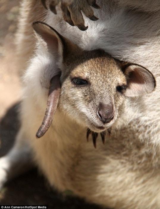 10.jun.2014 - O filhote canguru viu da bolsa aconchegante sua mamãe oferecer um pouco de comida a um pombo em um parque de Sydney, na Austrália. Segundo a autora da foto contou ao Daily Mail, o pombo não recusou o convite para comer e aproveitou um pouco da refeição oferecida pela canguru