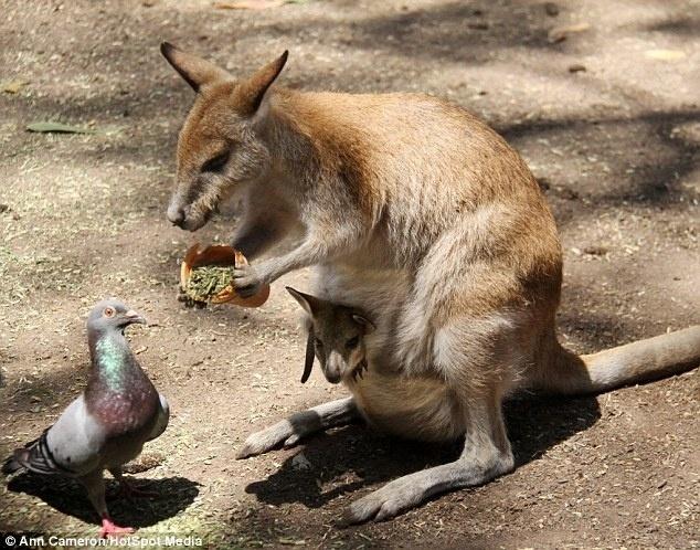 10.jun.2014 - Sabe aquele aviso de não alimente os pombos? Parece que a canguru fofa da foto não deu muita atenção à mensagem. A fotógrafa Ann Cameron flagrou a mamãe canguru, carregando o filhote em sua bolsa, oferecendo um pouco de sua comida para o amigo pombo em um parque de Sydney, na Austrália. Segundo a autora da foto contou ao Daily Mail, o pombo não recusou o convite para comer e aproveitou um pouco da refeição oferecida pela canguru