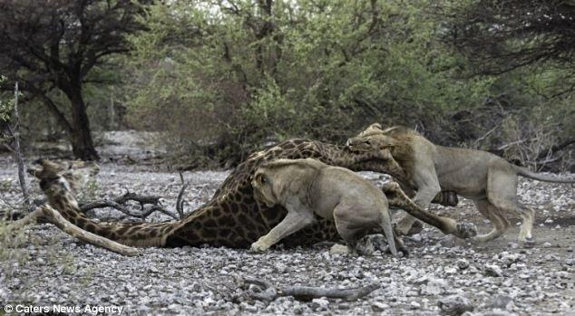 """12.jun.2014 - """"Apenas 30 segundos após o primeiro leão agarrá-la, a girafa caiu no chão. Era um gigante caído, um guerreiro derrotado, uma fortaleza vencida. É uma dualidade estranha na vida de um fotógrafo da vida selvagem encontrar alegria e adrenalina com a chance de fotografar essas coisas, mas também sentir tristeza e empatia pela vítima"""", desabafou Morkel Erasmus, 31, ao Daily Mail. Ele flagrou o momento do ataque"""