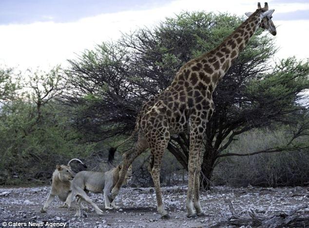 12.jun.2014 - Após horas fugindo de seus caçadores, a girafa idosa já estava cansada demais para enfrentar os leões