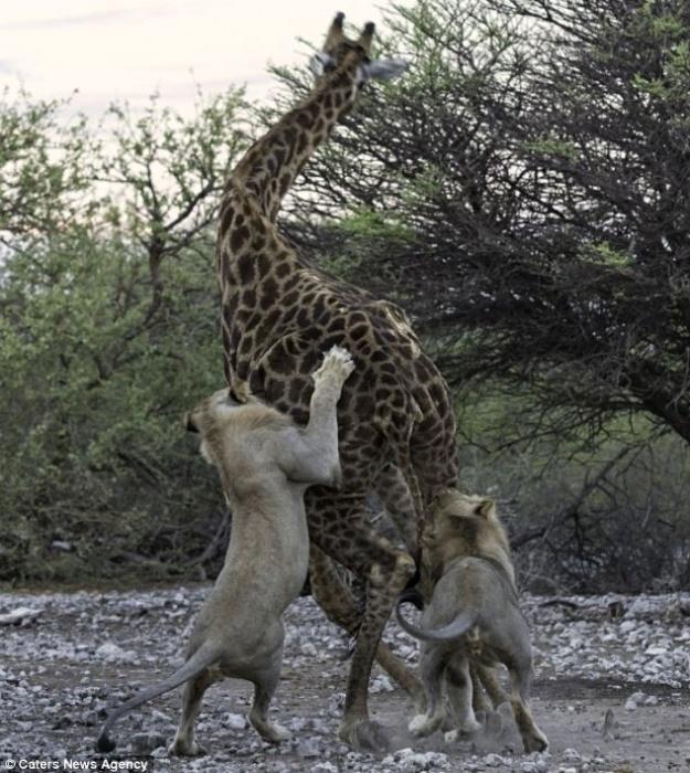 """12.jun.2014 - Após um dos leões ter agarrado a girafa pelas nádegas, ela ficou indefesa. """"Com a perna direita presa, não podia fazer muito. Seu espírito foi corajoso, mas seu corpo estava fraco e o inevitável aconteceu logo após sua outra perna ser agarrada"""", contou o fotógrafo Morkel Erasmus, 31, ao Daily Mail. Ele flagrou o momento do ataque"""