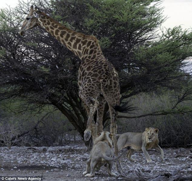 12.jun.2014 - Assim que a girafa parou de tentar fugir para encarar seus algozes, os leões atacaram as patas traseiras da vítima, que caiu no chão