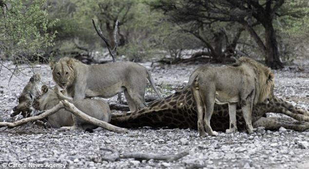 """12.jun.2014 - """"Dado o nível de fadiga que a velha girafa tinha apresentado, não fiquei surpreso que ela não conseguia afastar o leão de sua perna, mesmo assim ela tentou bravamente se manter viva"""", relatou o fotógrafo Morkel Erasmus, 31, ao Daily Mail. Ele flagrou o momento do ataque"""