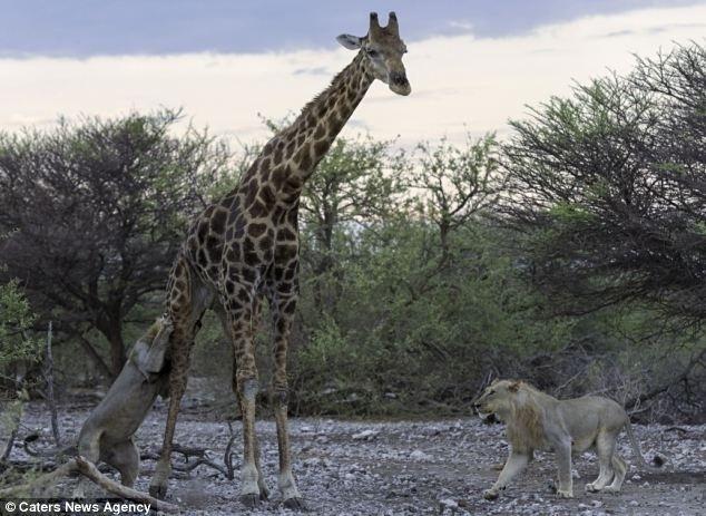 """12.jun.2014 - O fato de a girafa estar muito velha foi importante para que os leões levassem a melhor. """"Girafas têm cascos imensos e pernas poderosas, longas e musculosas, que permitem que elas arremessem os cascos em supostos assaltantes com força suficiente para um golpe letal. Essa velha girafa, infelizmente, estava muito cansada para chutar com esse tipo de ferocidade. Até tentou desferir alguns chutes e se balançar diante de seus atacantes algumas vezes, mas os chutes apenas mostravam sua fadiga. Um dos jovens leões machos logo encontrou uma oportunidade de agarrar as nádegas da girafa, justamente do lado em que ela não o via por causa do olho cego"""", explicou Morkel Erasmus, 31, ao Daily Mail. Ele flagrou o momento do ataque"""