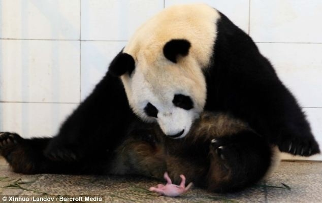 29.jun.2014 - Mamãe babona, Qing Qing observa seu filhotinho no Centro de Proteção na China, onde mora