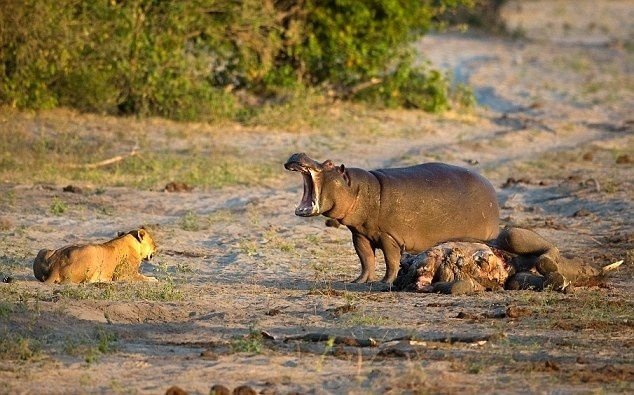10.jul.2014 - Não mexa com um hipopótamo com fome! Fotos mostram um hipopótamo escancarando as mandíbulas em um sinal de luta pela refeição. Apesar da desvantagem numérica, o hipopótamo enfrentou uma leoa e seu grupo e continuou comendo sob o olhar vigilante dos felinos. O fotógrafo da vida selvagem Grant Atkinson, 46, contou ao Daily Mail que o grupo de leões chegou primeiro e estava se alimentando do elefante, morto por causas naturais próximo ao rio, quando o hipopótamo chegou e espantou a família. A mãe tentou ficar firme diante da situação, mas viu que o outro bicho não estava para brincadeira, então se afastou e esperou com os filhos pacientemente até que o hipopótamo se afastasse e eles pudessem ficar com as sobras. Embora a dieta dos hipopótamos seja predominantemente composta por plantas, eles também podem comer carne, embora seja raro que optem por esse tipo de alimento