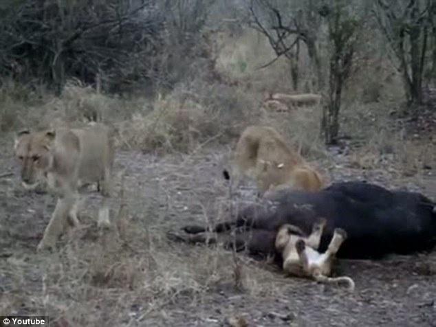 """13.jul.2014 - Um filhote de leão estava com um grupo durante a procura por alimento. Rapidamente os leões conseguem pegar um búfalo. Empolgado com a conquista, o jovem leão """"cai de boca"""" no banquete e fica com a cabeça entalada na carcaça do bicho. Na sequência de fotos, o jovem leão aparece lutando para se livrar da situação, ele faz força com as patas, balança o corpo, mas nada adianta e o leãozinho acaba desmaiando com a cabeça presa na traseira do búfalo. A equipe do Parque Nacional Kruger, na África do Sul, onde o caso aconteceu, no entanto, garantiu que o filhote passa bem, pois os outros leões organizaram uma missão de resgate e comeram a carcaça ao redor de onde o leãozinho ficou preso até que ele pudesse sair"""