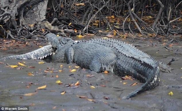"""22.jul.2014 - O guia de pesca Warren Smith estava passeando de barco no norte das Ilhas Tiwi, na Austrália, quando se deparou com uma cena inusitada: um crocodilo de cinco metros de comprimento comendo outro, de cerca de três metros. Entusiasmado por estar tão perto da cena, o homem chegou a apenas 10 metros de distância e fotografou o animal maior com o que sobrou do outro na boca. """"Não é muito comum ver algo assim... Eu vivo por aqui há mais de 20 anos e vi cenas como essa apenas meia dúzia de vezes"""", contou ao Daily Mail. Ele ainda afirmou que os crocodilos são conhecidos por praticarem o canibalismo, principalmente durante a nidificação, temporada de construção dos ninhos em que as mães ficam mais atentas para defender seus bebês"""