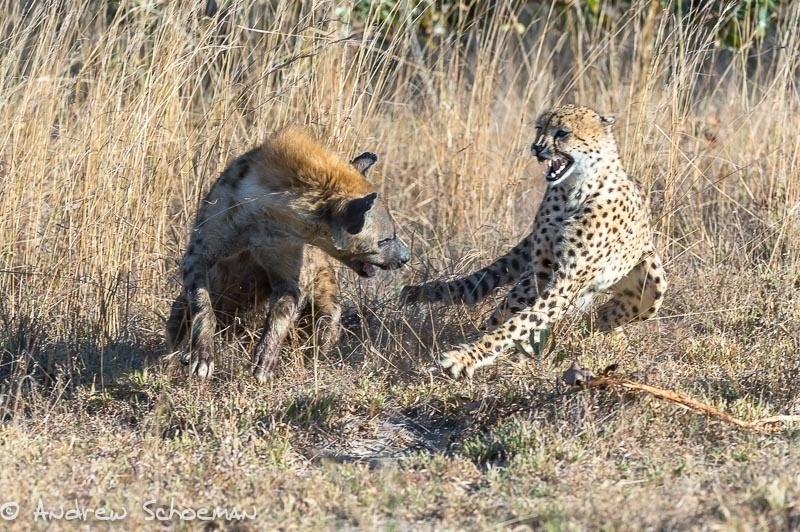 1.ago.2014 - Uma hiena enfrenta um guepardo no safári Inyati Game Lodge, na África do Sul. A hiena não deixou barato o ataque, encarou e tentou lutar contra o guepardo, mas o rival fugiu com velocidade
