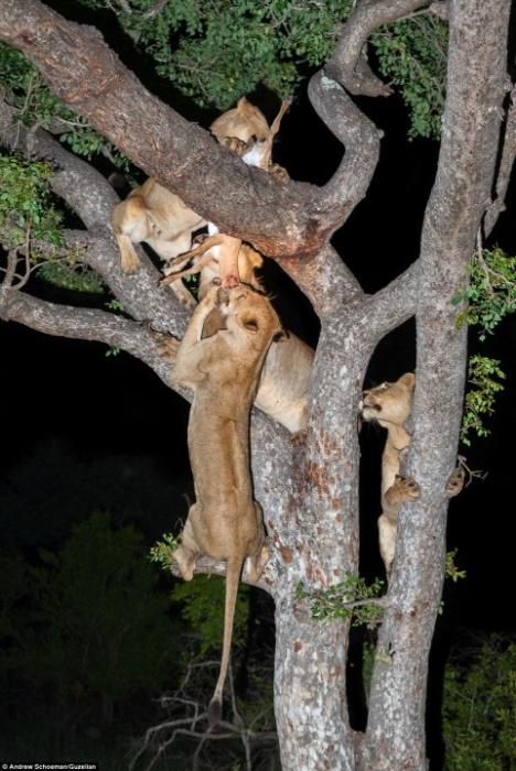 2.ago.2014 - Assim é fácil! Um trio de leões preguiçosos resolveu garantir a boa vida e roubar o alimento de um leopardo (foto), depois de o felino caçar sua presa por 45 minutos na África do Sul. Após matar uma impala, espécie de antílope, o leopardo, decidiu desfrutar a refeição no galho de uma árvore na África do Sul. Só que para tristeza do bicho, um bando de leões estavam por perto, observando e esperando o momento exato para atacar. Eles rapidamente saltaram na árvore e começaram a brigar pelo alimento ao mesmo tempo em que lutavam para manter o equilíbrio. No fim, o leopardo perdeu a comida, mas conseguiu sair ileso de cena