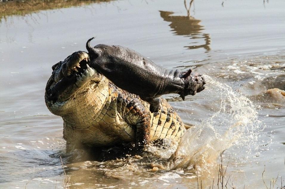 5.ago.2014 - O fotógrafo Roland Ross conseguiu capturar o exato momento em que um enorme crocodilo abocanha um filhote de hipopótamo. Com a presa entre os dentes, o crocodilo se debate para conter o pequeno animal, que tentou - sem sucesso - escapar. A cena aconteceu na África do Sul e durou 25 minutos, até que o crocodilo mergulhou na água com a presa contida em sua boca
