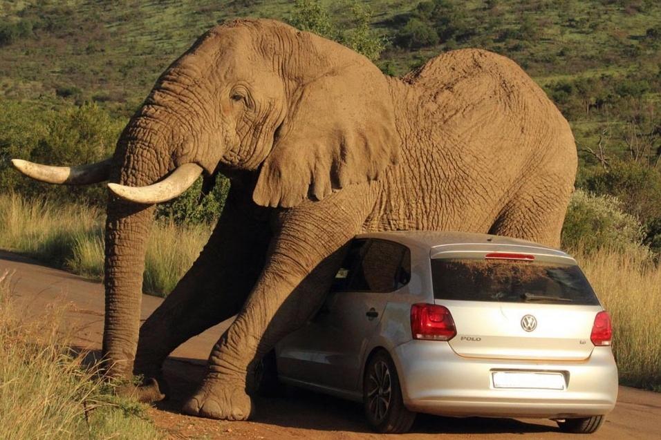 7.ago.2014 - Um grupo de visitantes do Parque Nacional de Pilanesburg, na África do Sul, levou um susto quando um elefante se aproximou do carro em que estavam e começou a se coçar. Isso mesmo! Na falta de pedras e árvores, o animal aproveitou o veículo para aliviar a coceira. O carro foi bastante chacoalhado, mas os ocupantes saíram sem nenhum arranhão. A cena foi fotografada pelo guia turístico Armand Glober no ano passado, mas só agora as imagens foram divulgadas