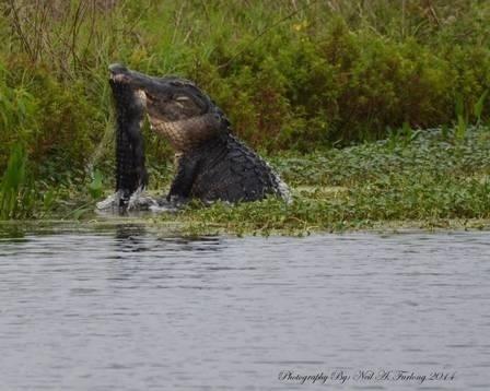 """12.ago.2014 - Um jacaré de aproximadamente 4 metros foi flagrado comendo um animal da mesma espécie na reserva Circle B Bar, em Lakeland, Florida (EUA). A briga feroz terminou com o pequeno sendo devorado, após ser cortado ao meio. """"Meu coração batia acelerado quando eu terminei de fazer as fotos"""", contou o fotógrafo Neil Furlong, que divulgou a sequência da disputa em seu perfil do Facebook. """"Ouvi um barulho na água e soube que o jacaré tinha pego algo. Eu não sabia o que tinha fotografado até olhar na câmera. Apesar de ser um fotógrafo novo, eu sabia que tinha capturado um momento que é incomum"""", disse Neil ao Huffington Post. De acordo com a publicação, o ataque entre animais dessa espécie acontece, principalmente, por disputas territoriais"""
