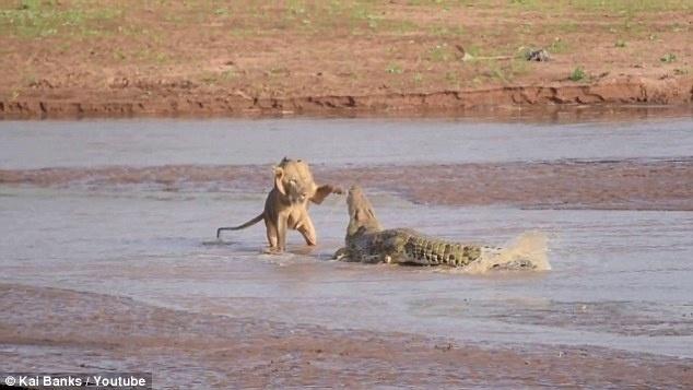21.ago.2014 - Um grupo de leões resolveu puxar briga com um crocodilo no Quênia. A disputa aconteceu por causa de uma carcaça de um elefante, que morreu ao lado de um lago em uma reserva no país africano. Apesar de a carne ser suficiente para alimentar muitos animais, os leões famintos quiseram desfrutar do banquete sem precisar dividir com outras espécies, e o crocodilo, que também estava se aproximando para fazer a refeição, acabou tornando-se rival do grupo. No final, os leões levaram a melhor e, segundo o Daily Mail, o réptil acabou aleijado pelos felinos. O flagra foi feito por um turista