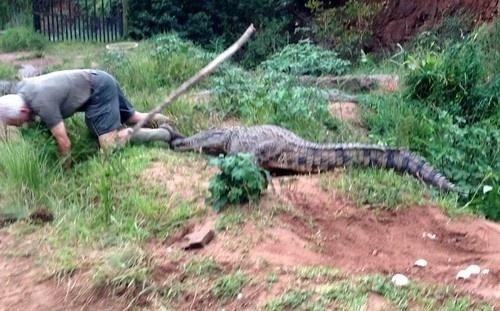 23.ago.2014 - Peter Watson, de 73 anos, levou um susto quando tentou afastar uma fêmea de crocodilo dos seus ovos. Veloz, o réptil cravou os dentes no sapato que o tratador usava e atingiu o seu pé esquerdo. O incidente aconteceu no KwaZulu-Natal, na África do Sul. Peter teve sorte e conseguiu se livrar do animal, mas o seu pé ficou ferido. Ele tomou pontos e passa bem