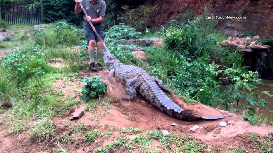 23.ago.2014 - Peter Watson, de 73 anos, levou um susto quando tentou afastar uma fêmea de crocodilo dos seus ovos. Veloz, o réptil cravou os dentes no sapato que o tratador usava e atingiu o seu pé esquerdo. O incidente aconteceu no KwaZulu-Natal, na África do Sul. Peter teve sorte e conseguiu se livrar do animal, mas o seu pé ficou ferido. Ele tomou pontos e passa bem. Veja nas fotos a seguir a sequência do ataque