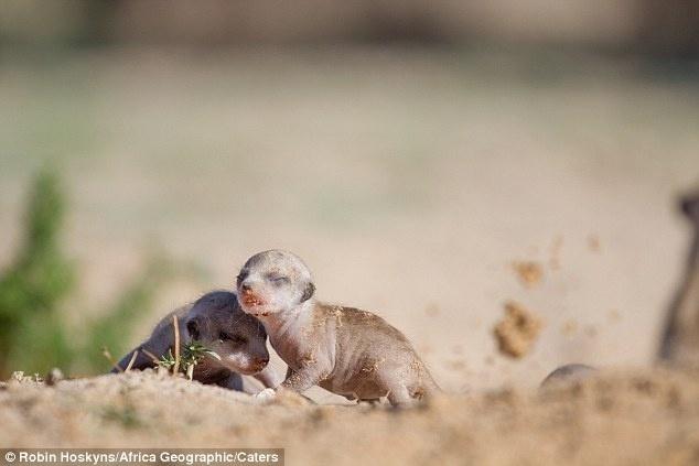 """2.set.2014 - Uma cobra venenosa invadiu a toca de suricatos na África do Sul e acabou ficando com cinco filhotes recém-nascidos do bando. Rapidamente, os suricatos organizaram uma operação de resgate. Os animais são conhecidos por viverem em grupos familiares bem unidos. O fotógrafo Robin Hoskyns conseguiu captar o momento em que o bando arrasta os bebês um a um para fora. """"Filhotes ficam no subsolo e não surgem por até três semanas, até que seus olhos se abram e eles sejam capazes de reagir ao ambiente um pouco"""", contou em entrevista ao Daily Mail. Na operação que, segundo Robin, foi frenética, a fêmea dominante do grupo acabou sendo picada na perna. Mesmo com o membro inchado e sangrando, ela carregou um bebê na boca e achou abrigo para todos em outra toca, a cerca de 300 metros"""
