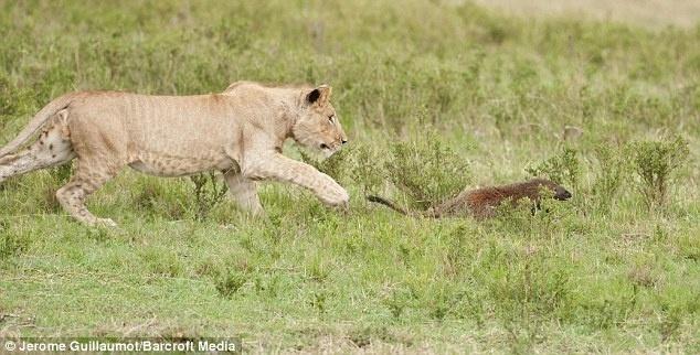 6.set.2014 - Ao tentarem atacar uma fuinha, mamífero típico da África, três leoas se surpreenderam com a reação do pequeno animal. A fuinha rosnou e chegou a morder o focinho de uma delas. Depois de alguns minutos o animal conseguiu se livrar dos felinos e se abrigar em um buraco. O flagra aconteceu no Parque Nacional Masaa Mara, no Quênia, em 2011, mas só agora as fotos foram liberadas