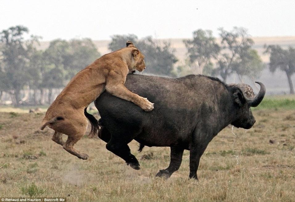 """7.set.2014 - Três leoas tentaram colocar bife de búfalo no cardápio do dia. O solitário búfalo passeava no território dos leões na Reserva Nacional de Maasai Mara, no Quênia, quando foi atacado pelas leoas. Um dos felinos tentou agarrar o enorme bovídeo, mas foi surpreendido pelo coice do animal que disparou igual os touros das festas de peão do boiadeiro. Resultado, a leoa foi parar longe. Depois o búfalo conseguiu sair sem ser morto. As fotos foram feitas por Laurent Renaud e Dominique Haution, professores franceses. Eles disseram: """"leões e búfalos estão sempre em conflito. Os búfalos nunca toleram a presença dos leões""""."""