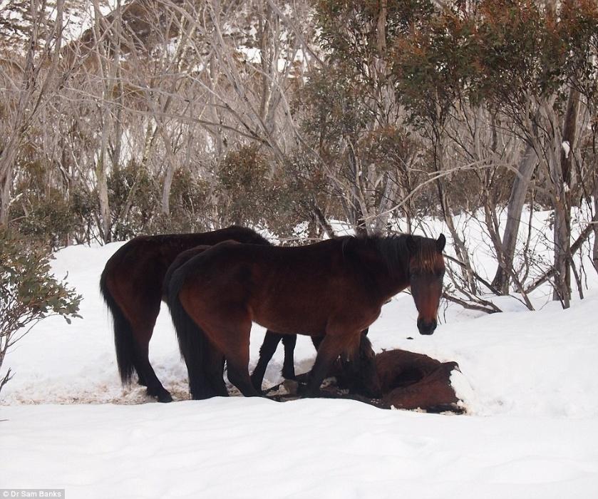 """23.set.2014 - Os ecologistas Dr. Driscoll e Dr. Sam Banks flagraram um fato bem inusitado nos Alpes australianos. Em meio as montanhas nevadas, eles encontraram um cavalo morto, com um enorme buraco na barriga e os intestinos """"mordicados"""" e puxados para o lado de fora do corpo. Eles não conseguiram pensar no que podia ter causado o dano, mas, ao passarem pelo local no dia seguinte, encontraram outros cavalos ao lado do corpo, devorando o companheiro. """"O grupo estava mordendo o que restava das entranhas. Eles estavam obviamente morrendo de fome"""", ressaltou o Dr. Driscoll em entrevista ao Daily Mail, lembrando que esses animais são herbívoros. Para ele, os cavalos selvagens deviam estar desesperados por comida nas montanhas cheias de neve e acabaram sem alternativas além de devorar um companheiro"""