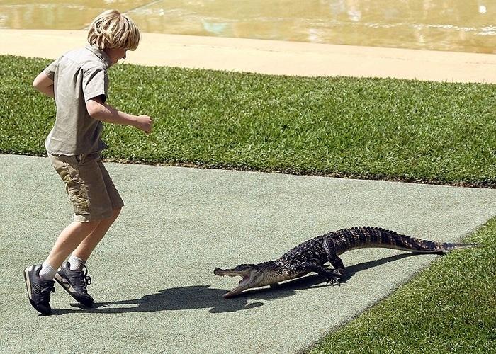 26.set.2014 - Na imagem, Robert Irwin consegue se safar quando o animal ameaça morder um de seus calcanhares.