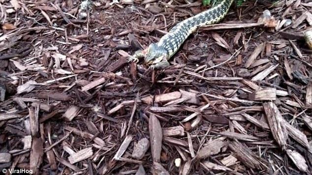 27.set.2014 - Aos 35 segundos da filmagem, as costas bichinho já está na boca da devoradora. Em seguida, a cobra morde a cabeça e as pernas do animal.