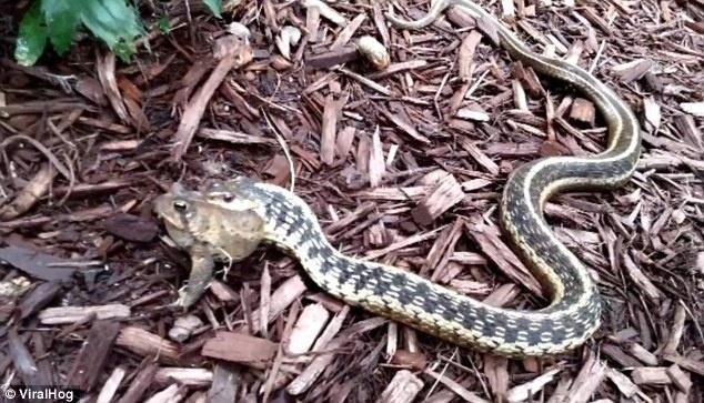 27.set.2014 - O pequeno sapo esboça gritinhos de desespero, mas a serpente é implacável.