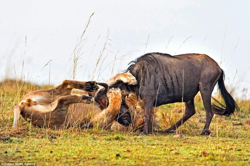7.set.2014 -  No Quênia, o fotógrafo Aditya Singh registrou a batalha entre um leão e um gnu, que estava perdido quando foi surpreendido pela fera. Em menos de 60 segundos, o leão se aproximou de sua presa e com um poderoso ataque imobilizou a vítima. O gnu ainda tentou lutar, mas não conseguiu se livrar das garras do bicho, que com uma mordida no pescoço finalizou a batalha