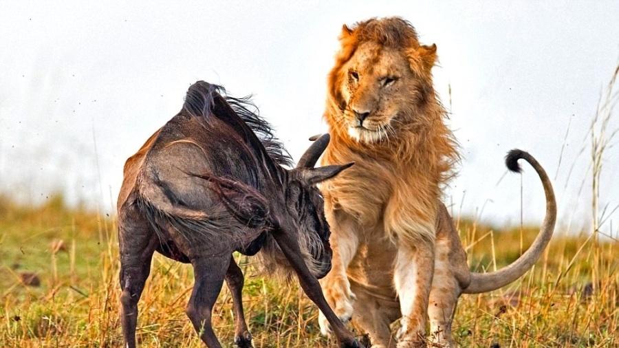 Rapidinha na mata, no Zimbábue, terminou com mulher devorada por leão - Reprodução/DailyMail