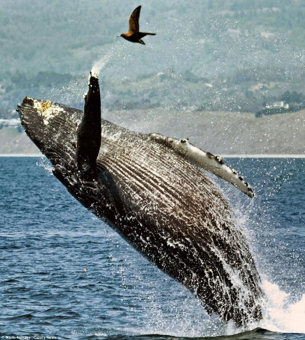 17.out.2014 - O fotógrafo alemão Mario Nonaka registrou o momento exato do salto de uma baleia-jubarte que quase acertou um pássaro, que voava baixo. Na internet, a foto ganhou grande repercussão por parecer que o mamífero tenta cumprimentar a gaivota com uma de suas barbatanas. O clique de Mario Nonaka foi feito durante um passeio de barco na costa californiana