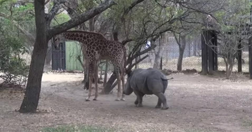"""26.out.2014 - Uma polonesa registrou um momento de fúria de uma girafa que vive no centro de reabilitação Moholoholo Wildlife, na África do Sul. Na imagem, o bicho dá um chute em um rinoceronte após ser """"incomodado"""". Os animais, que se chamam Gerald e Olive, são filhotes e dividem o mesmo espaço na reserva."""