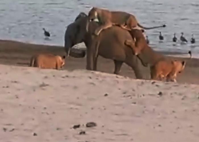 12.nov.2014 - Um vídeo feito por um grupo de turistas flagrou um filhote de elefante perdido de sua manada e em apuros. Na gravação, o bebê paquiderme enfrenta 14 leoas no Parque Luangwe, na Zâmbia.