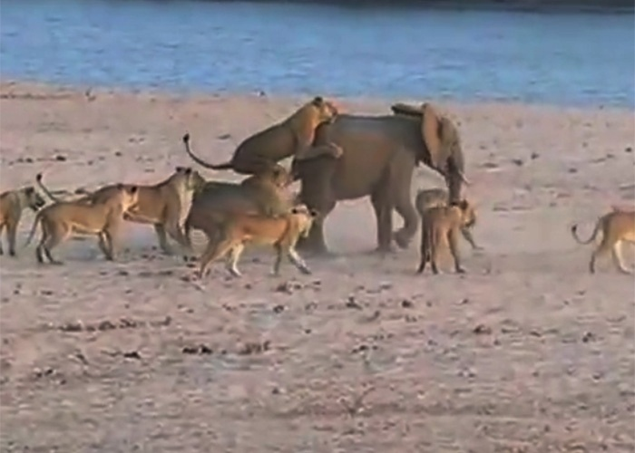 12.nov.2014 - Um vídeo feito por um grupo de turistas flagrou um filhote de elefante perdido de sua manada e em apuros. Na gravação, o bebê paquiderme enfrenta 14 leoas no Parque Luangwe, na Zâmbia. Persistente, o bicho conseguiu se livrar do grupo de inimigas, mas não foi nada fácil.