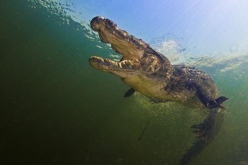 15.nov.2014 - Um mergulhador foi roubado por um crocodilo. Isso mesmo! Enquanto captava imagens no fundo de um rio, Amos Nachoum foi surpreendido pelo réptil, que cravou os dentes em sua câmera GoPro. A sorte foi que o mergulhador estava acompanhado de um amigo, que conseguiu registrar a cena com outra câmera. O flagra foi feito em Okavango Delta (Botsuana), em outubro, mas as imagens só foram divulgadas nesta semana pelo Barcroft Media