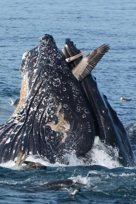"""9.dez.2014 - Contratada para registrar algumas aves e peixes no mar da Baía de Monterey, na Calfórnia, Estados Unidos, a fotógrafa americana Kate Cummings retratou uma cena inusitada: o momento exato que uma baleia jubarte salta no ar e abocanha um pelicano. O mais curioso é que o ataque não foi fatal. Isso por que, ao estranhar a ave, a baleia soltou a presa. """"É provável que, ao sentir o pelicano, a baleia não quis engoli-lo. Nós vimos quando a baleia abriu a boca antes de mergulhar de novo, soltando o pelicano"""", contou Kate, que diz ter visto o pelicano emergir na água """"sem danos visíveis"""". As informações são do Daily Mail"""
