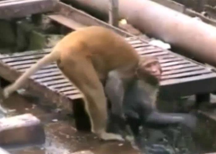 """21.dez.2014 - A imagem reproduz um vídeo, feito em uma estação de trem na cidade de Kanpur, no norte da Índia, que mostra quando um macaco chega para resgatar um """"colega"""" que está caído inconsciente. Ele tomou um choque enquanto andava em fios de alta tensão no local. Na imagem, o animal mergulha o """"amigo"""" em uma poça."""