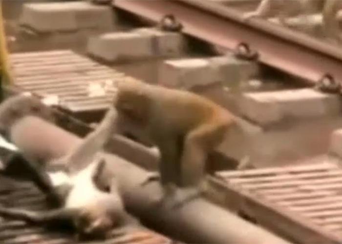 """21.dez.2014 - A imagem reproduz um vídeo, feito em uma estação de trem na cidade de Kanpur, no norte da Índia, que mostra quando um macaco chega para resgatar um """"colega"""" que está caído inconsciente. Ele tomou um choque enquanto andava em fios de alta tensão no local."""