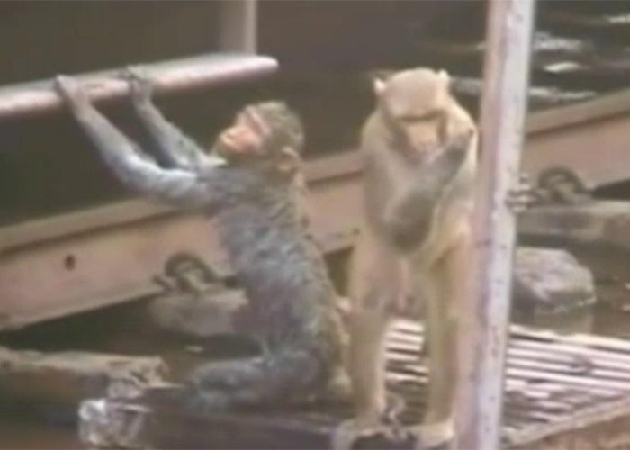 21.dez.2014 - Foi então que depois de mais de 20 minutos, o macaquinho inconsciente começou a mostrar sinais vitais novamente arrancando aplausos dos viajantes de trem que assistiam a tudo atentamente e ficaram boquiabertos com o ato heroico do macaco.